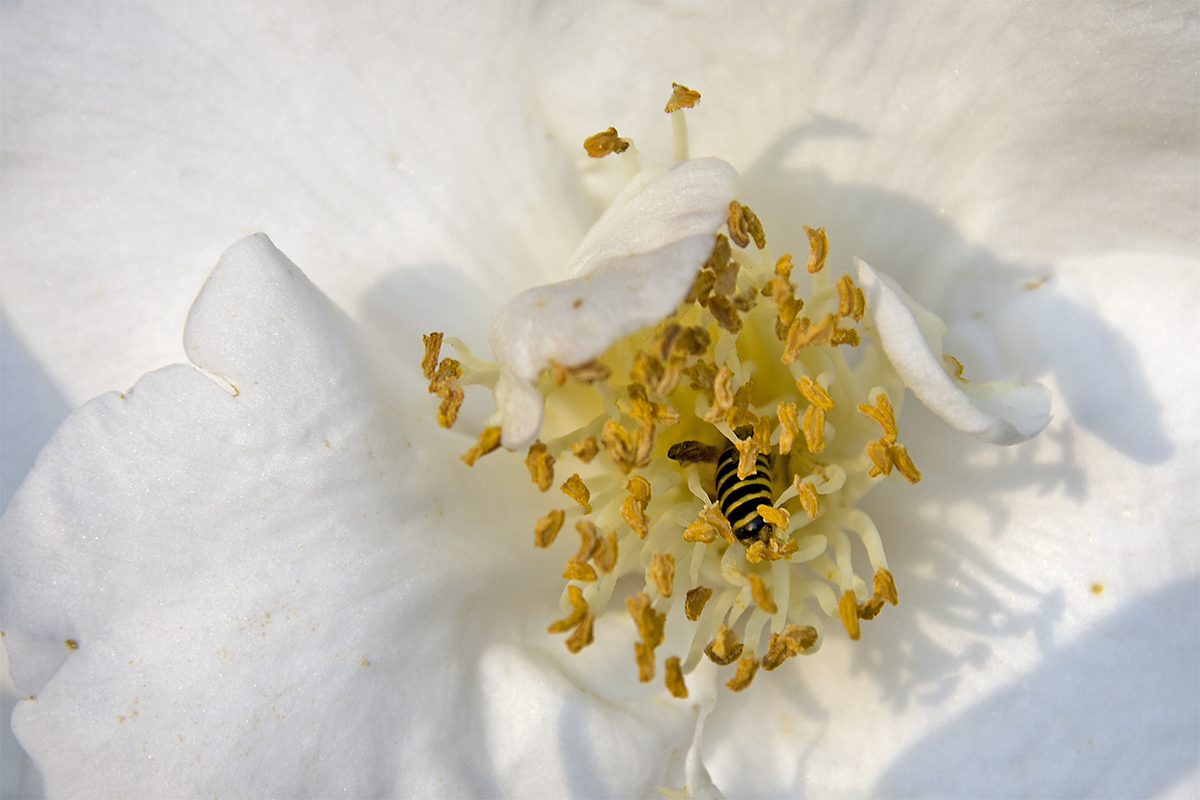 IMAGE: http://chuck-d.net/images/potn/Nature/Statesboro/White%20Rose%20Coffin.jpg
